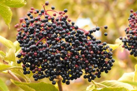 elderberries_elder_black_elderberry